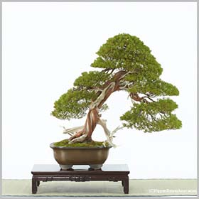 bonsai small rectangle