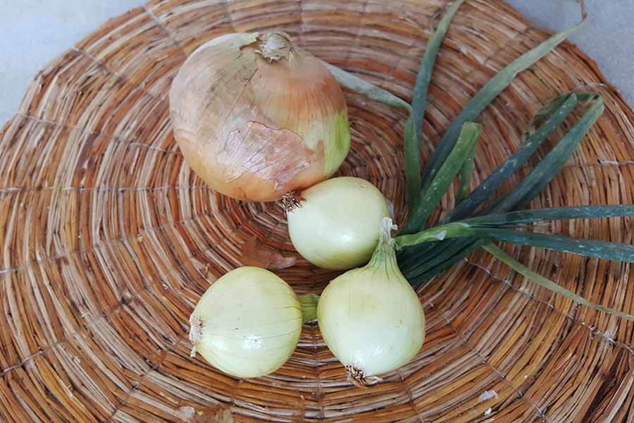 How to use shin tamanegi, new crop onions